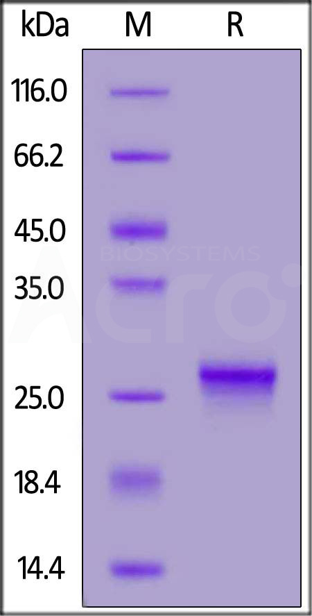 Biotinylated Human IL-17C, His,Avitag (Cat. No. ILC-H82E5) SDS-PAGE gel