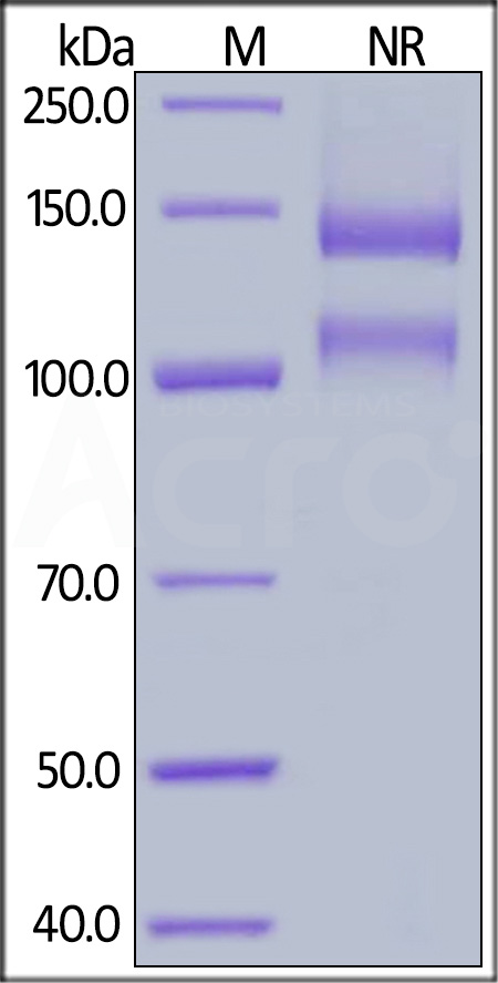 Biotinylated Human ITGAV&ITGB1 Heterodimer Protein, His,Avitag&Tag Free (Cat. No. IT1-H82W6) SDS-PAGE gel