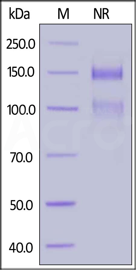 Biotinylated Human ITGA8&ITGB1 Heterodimer Protein, His,Avitag&Tag Free (Cat. No. IT1-H82Wb) SDS-PAGE gel