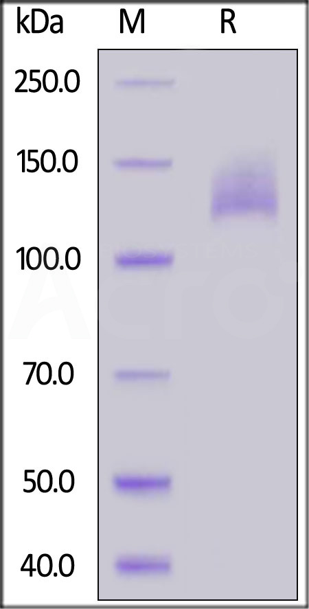 Biotinylated Human VEGF R2, Avitag,His Tag (Cat. No. KDR-H82E5) SDS-PAGE gel