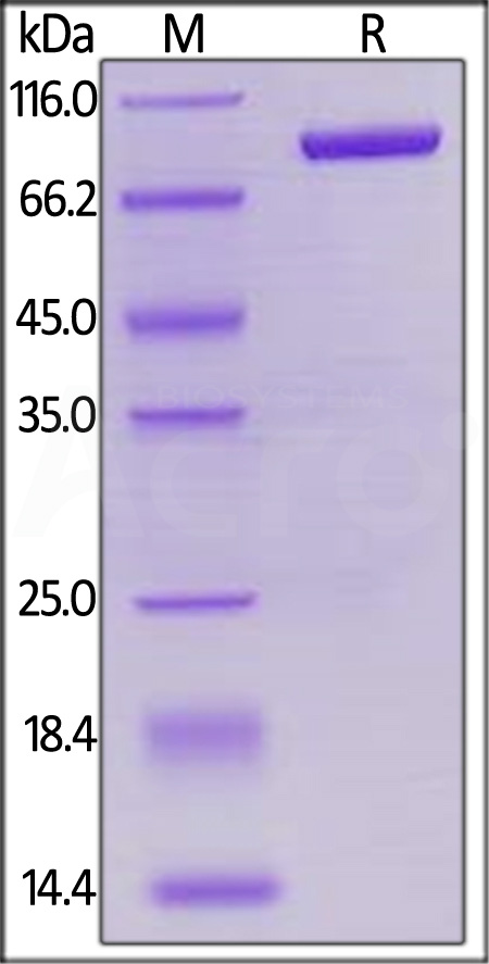 Biotinylated Human LAG-3, Mouse IgG2a Fc,Avitag (Cat. No. LA3-H82F3) SDS-PAGE gel