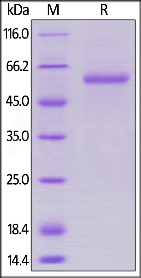 Marmoset LAG-3 (Cat. No. LA3-M52Ha) SDS-PAGE gel