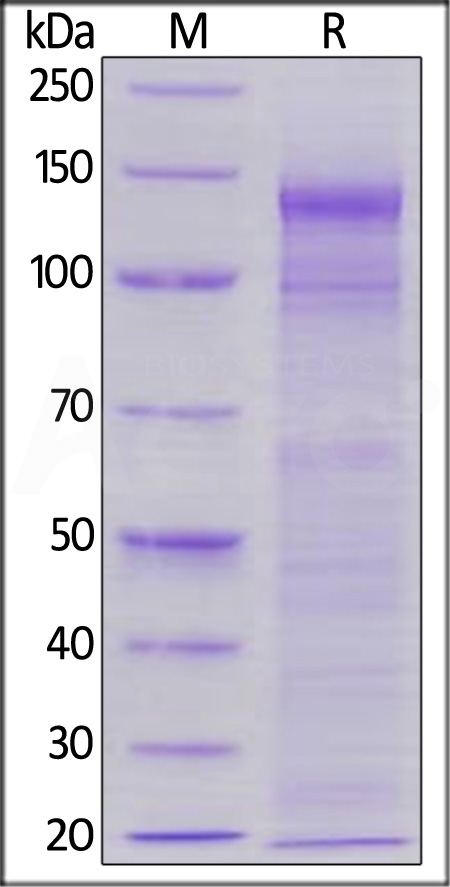 Biotinylated Human LDL R, His,Avitag (Cat. No. LDR-H82E7) SDS-PAGE gel