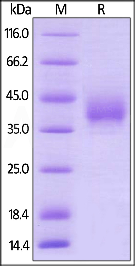 Biotinylated Human LILRA5, His,Avitag (Cat. No. LI5-H82E1) SDS-PAGE gel