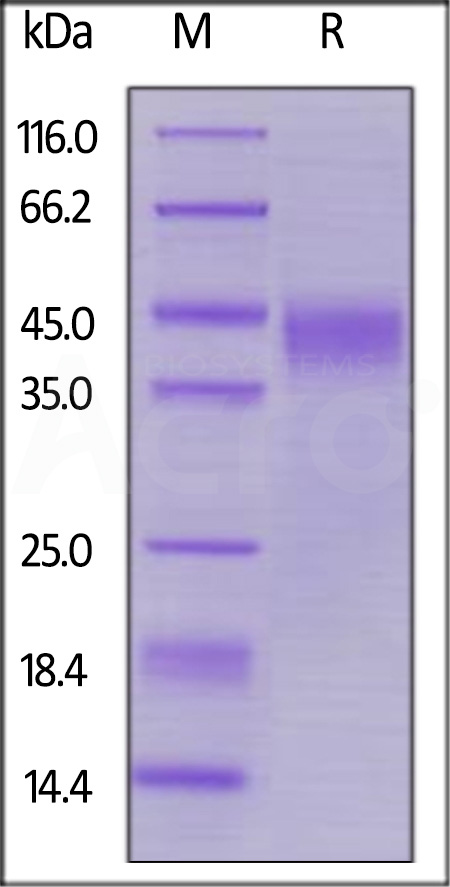Biotinylated Human LIF, His,Avitag (Cat. No. LIF-H82E2) SDS-PAGE gel