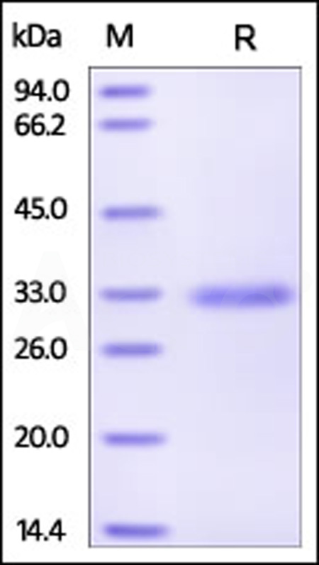 Human MBL, His Tag (Cat. No. MBL-H5220) SDS-PAGE gel