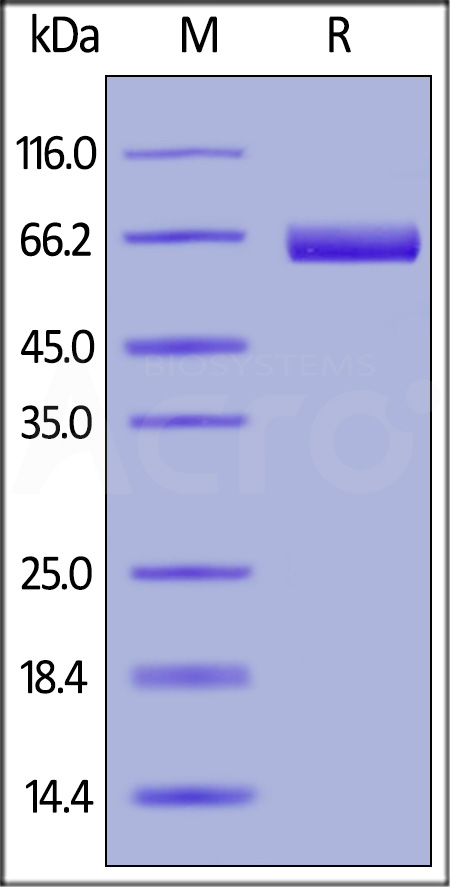 Biotinylated Human Mesothelin, Fc Tag (Cat. No. MSN-H826x) SDS-PAGE gel