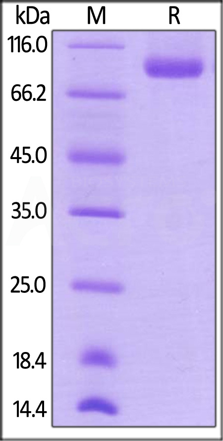Biotinylated Human Neuropilin-1, His,Avitag (Cat. No. NR1-H82E3) SDS-PAGE gel