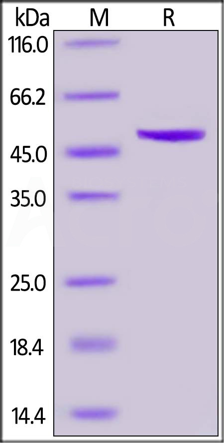 SARS-CoV-2 Nucleocapsid protein, His Tag (Cat. No. NUN-C51H9) SDS-PAGE gel