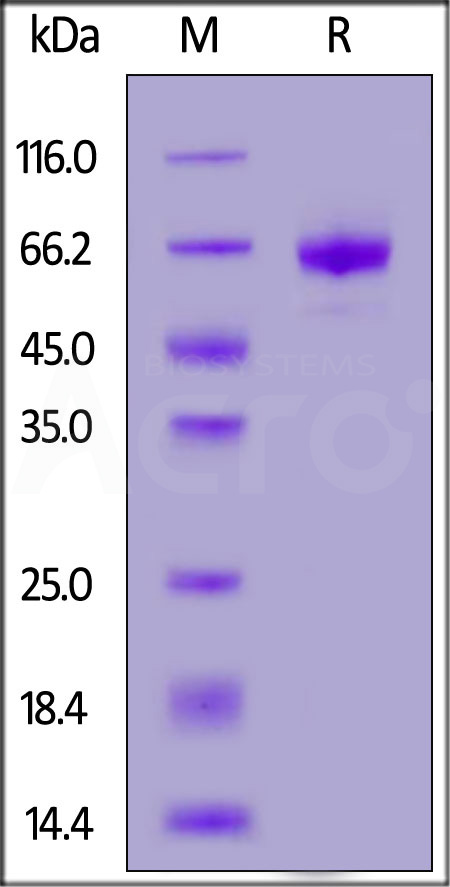 Human OX40, Fc Tag (Cat. No. OX0-H5255) SDS-PAGE gel