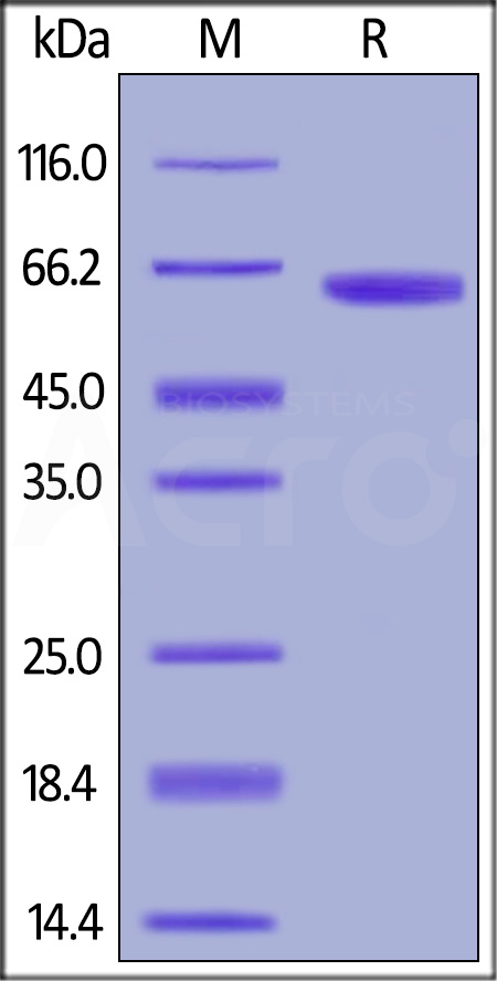 Biotinylated Human OX40, Fc Tag, Avi Tag (Cat. No. OX0-H82F7) SDS-PAGE gel