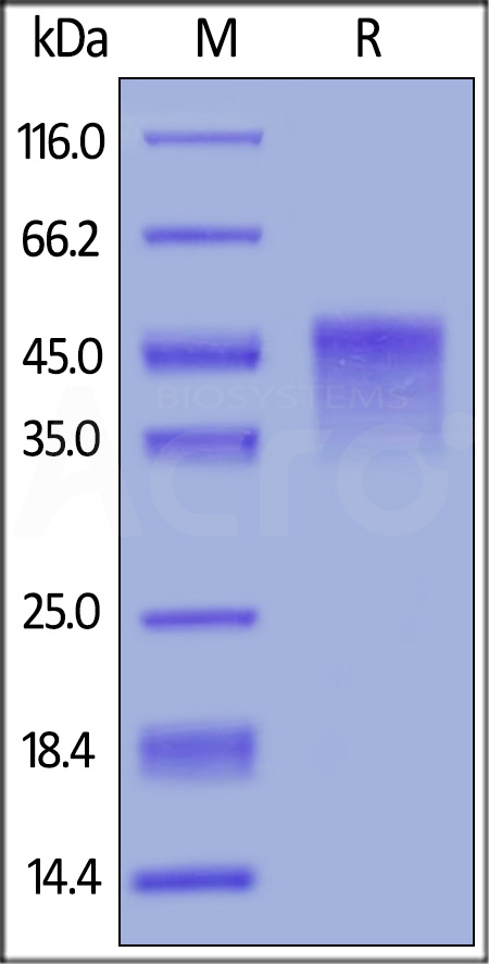 Biotinylated Mouse OX40, His,Avitag (Cat. No. OX0-M82E5) SDS-PAGE gel