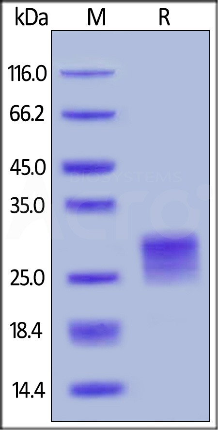 Human OX40 Ligand (active trimer) (HPLC-verified) (Cat. No. OXL-H52Q8) SDS-PAGE gel