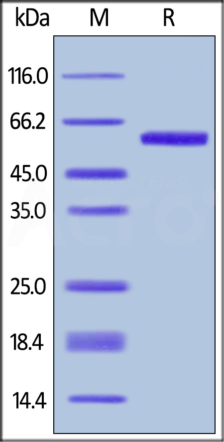 Biotinylated Human OX40 Ligand, Avitag,Fc Tag (Cat. No. OXL-H82F4) SDS-PAGE gel