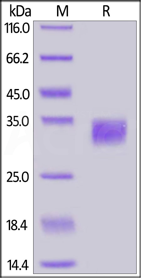 Human PD-L1, His Tag (Cat. No. PD1-H5229) SDS-PAGE gel
