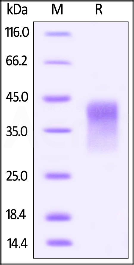 Human PD-1, His Tag, low endotoxin (Cat. No. PD1-H522a) SDS-PAGE gel