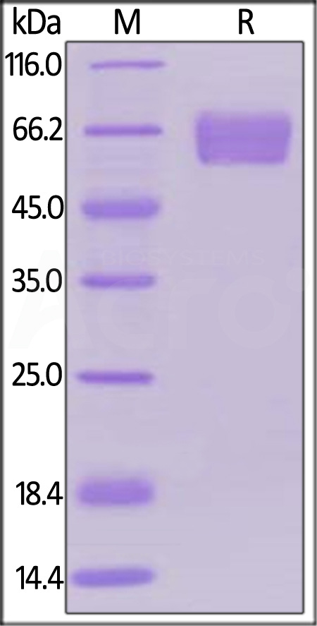 Human PD-1, Llama IgG2b Fc Tag, low endotoxin (Cat. No. PD1-H5259) SDS-PAGE gel
