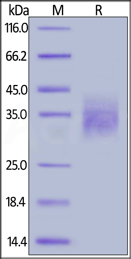 Human PD-1, Strep Tag (Cat. No. PD1-H5284) SDS-PAGE gel