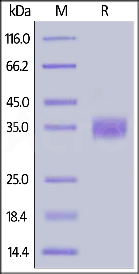 Biotinylated Human PD-L1, Avitag™,His Tag (Cat. No. PD1-H82E5) SDS-PAGE gel