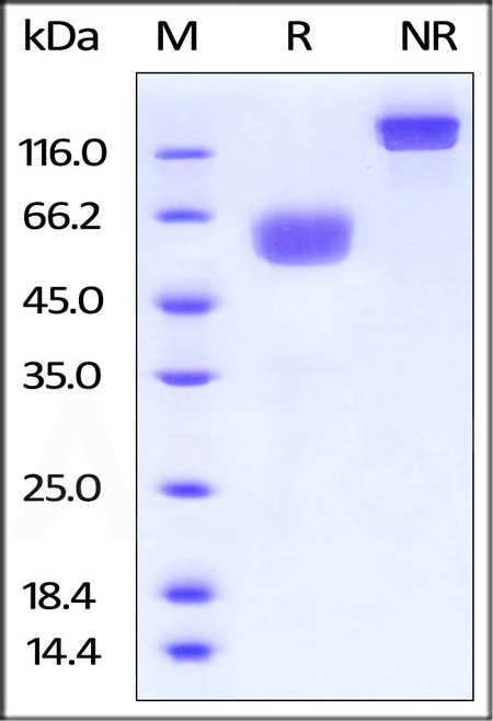 Biotinylated Human PD-1, His Tag, Fc Tag (Cat. No. PD1-H82F2) SDS-PAGE gel