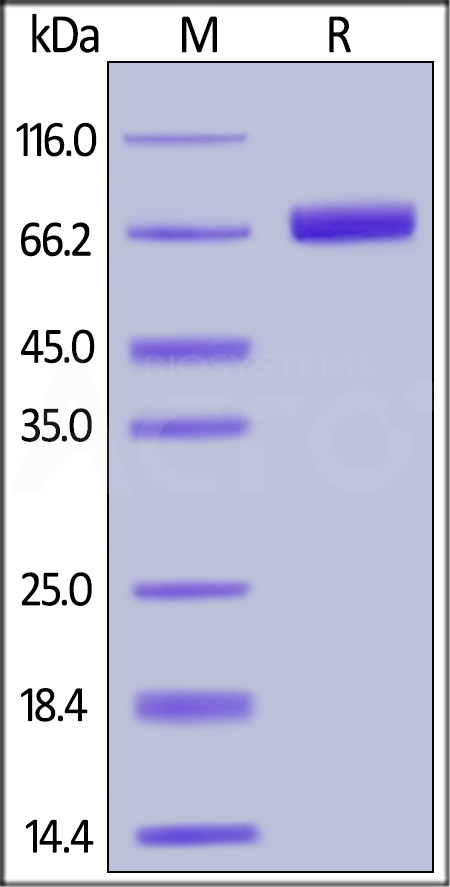 Biotinylated Human PD-L1, Fc,Avitag,His Tag (Cat. No. PD1-H82F3) SDS-PAGE gel