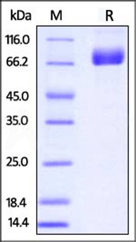 Biotinylated Mouse PD-L1, Fc Tag (Cat. No. PD1-M82F5) SDS-PAGE gel