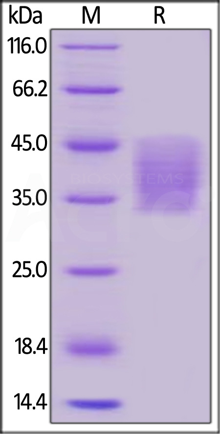 Human PD-L2, His Tag (SPR verified) (Cat. No. PD2-H5220) SDS-PAGE gel