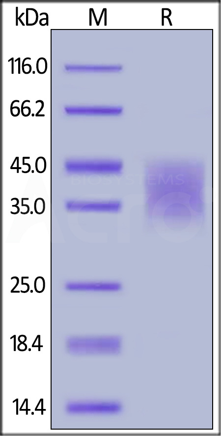 Biotinylated Human PD-L2, Avitag,His Tag (recommended for biopanning) (Cat. No. PD2-H82E8) SDS-PAGE gel