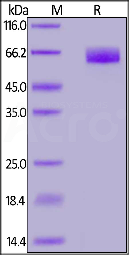 Human CD44, Fc Tag (HPLC-verified) (Cat. No. PG1-H5255) SDS-PAGE gel