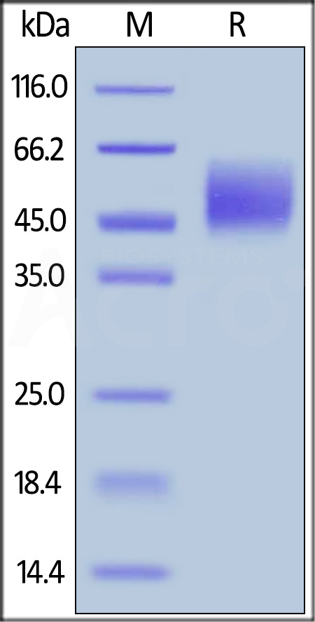 Human Nectin-1, His Tag (Cat. No. PV1-H5223) SDS-PAGE gel