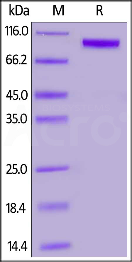 Biotinylated Human / Cynomolgus / Rhesus macaque ROR1, Fc,Avitag (Cat. No. RO1-H82F4) SDS-PAGE gel