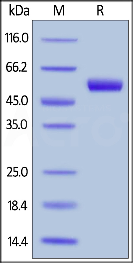 Biotinylated Recombinant Protein L, His Tag, primary amine labeling, long spacer (Cat. No. RPL-P814R) SDS-PAGE gel