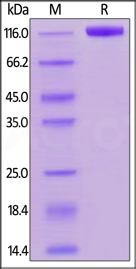 Biotinylated Human Siglec-2, Fc Tag, Avi Tag (Cat. No. SI2-H82F8) SDS-PAGE gel
