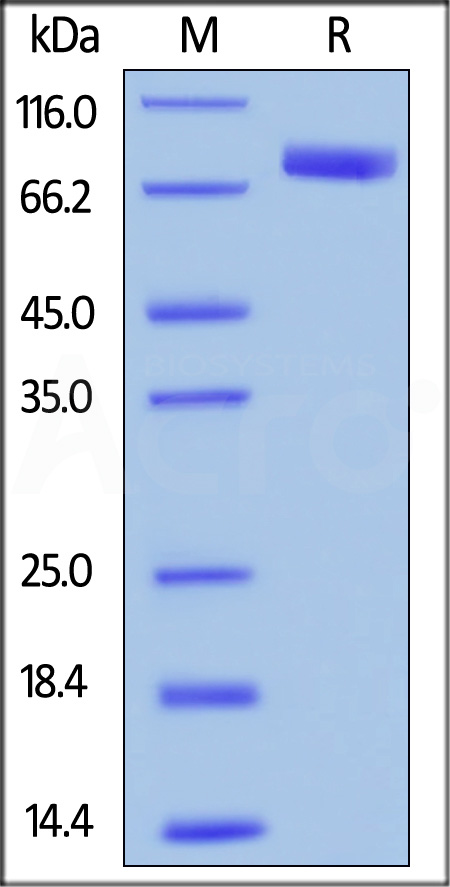 Human SIRP alpha, Mouse IgG1 Fc Tag (Cat. No. SIA-H52A8) SDS-PAGE gel