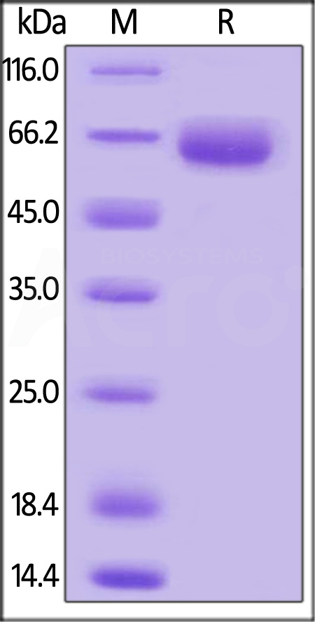 Mouse SLAMF7, Mouse IgG2a Fc Tag, low endotoxin (Cat. No. SL7-M5252) SDS-PAGE gel