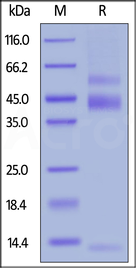 Biotinylated Human Latent TGF-Beta 1, His,Avitag (Cat. No. TG1-H82Qb) SDS-PAGE gel