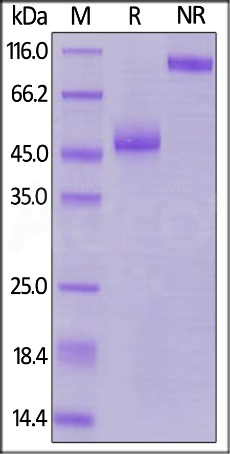 Biotinylated Human TIGIT, Fc,Avitag (MALS verified) (Cat. No. TIT-H82F1) SDS-PAGE gel