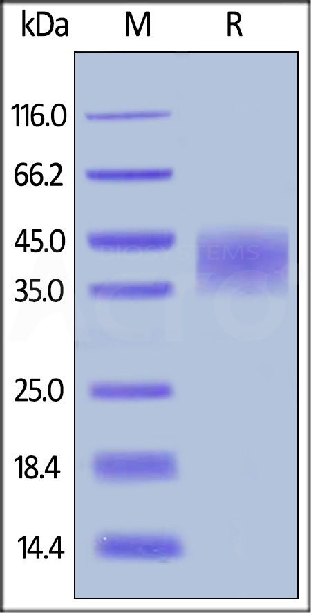 Human TNFR2, His Tag (Cat. No. TN2-H5227) SDS-PAGE gel