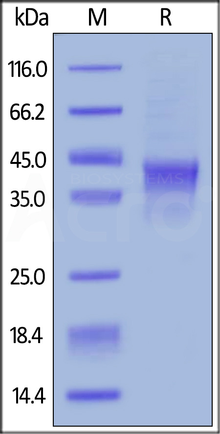 Biotinylated Human OX40, His Tag, Avi Tag (Cat. No. TN4-H82E4) SDS-PAGE gel