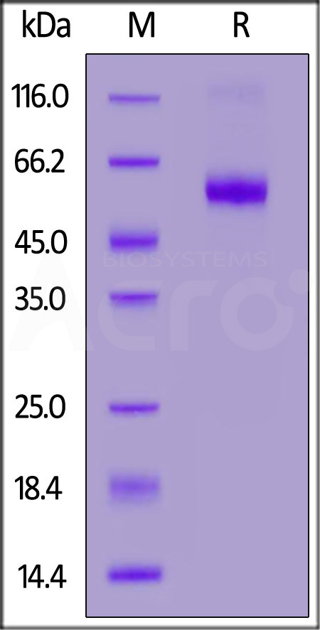 Human DR3, Fc Tag (Cat. No. TN5-H5258) SDS-PAGE gel