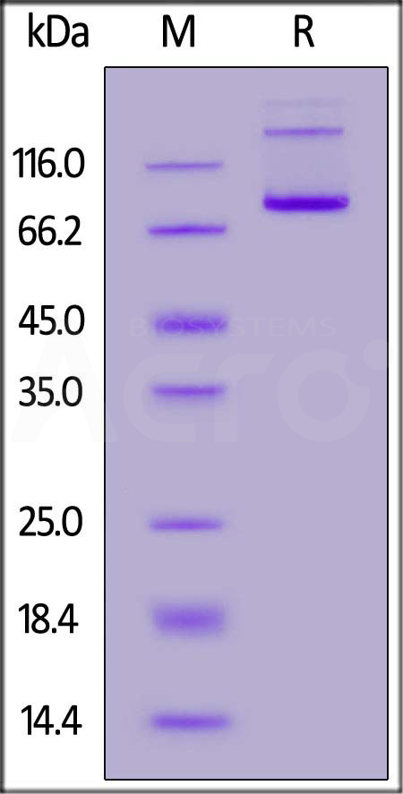 Biotinylated Human CD27 Ligand, Avitag,Fc Tag (Cat. No. TN7-H82F4) SDS-PAGE gel