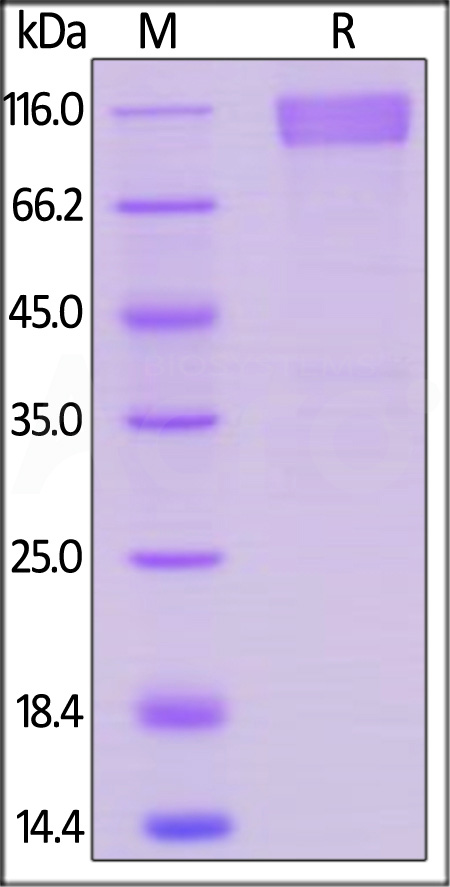 Human CD30, Llama IgG2b Fc Tag, low endotoxin (Cat. No. TN8-H5250) SDS-PAGE gel