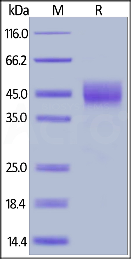 Biotinylated Human TROP-2, His,Avitag (Cat. No. TR2-H82E5) SDS-PAGE gel