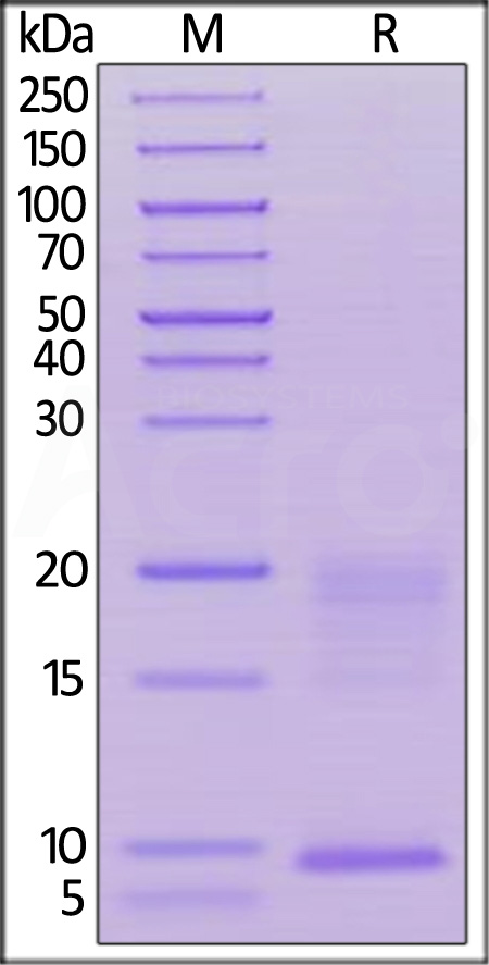 Human TSLP, His Tag (Cat. No. TSP-H52Hb) SDS-PAGE gel