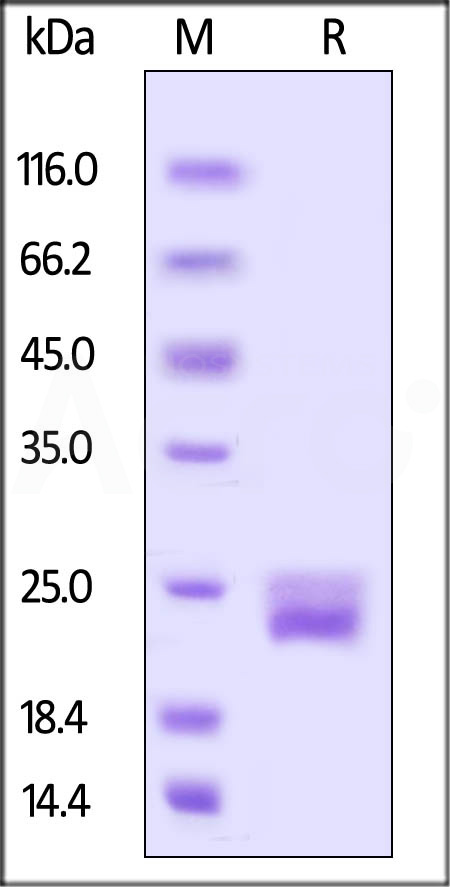 Biotinylated Mouse VEGF120, His,Avitag (Cat. No. VE0-M82Q2) SDS-PAGE gel