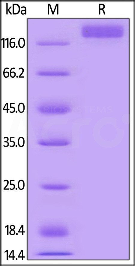 Mouse VEGF R2, Mouse IgG2a Fc Tag, low endotoxin (Cat. No. VE2-M5258) SDS-PAGE gel
