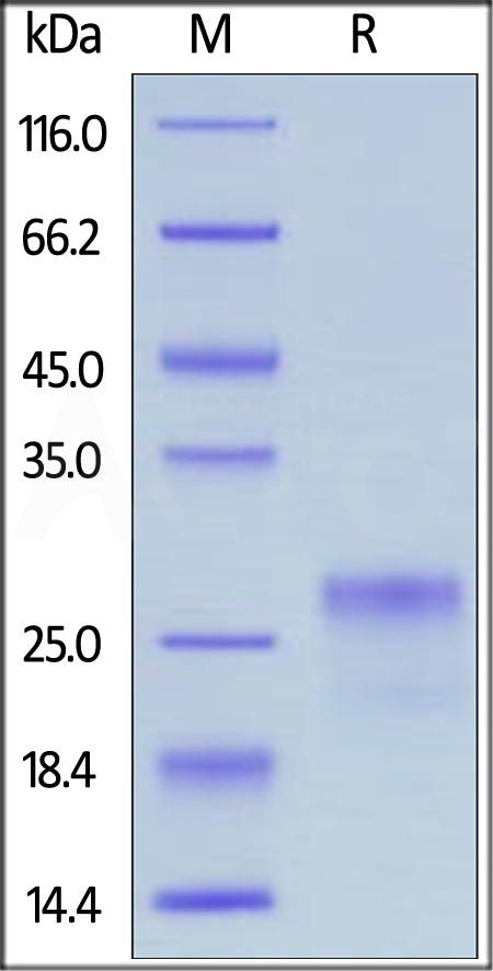 Human VEGF165, His Tag (Cat. No. VE5-H5248) SDS-PAGE gel