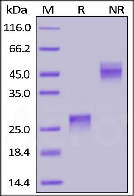 Biotinylated Human VEGF165, His,Avitag (Cat. No. VE5-H82Q0) SDS-PAGE gel