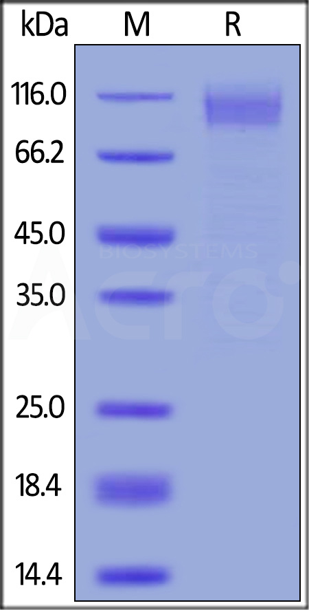 Ebolavirus EBOV (subtype Zaire, strain Kikwit-95) GP1, His Tag (Cat. No. ZE5-V5220) SDS-PAGE gel