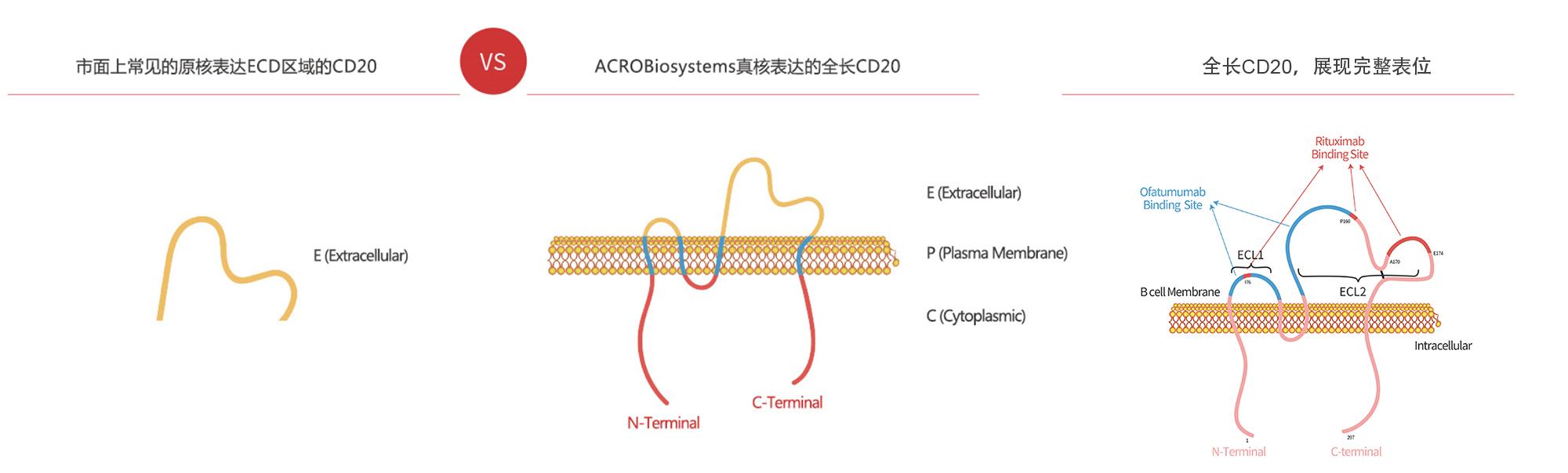 多次跨膜蛋白就是要全长